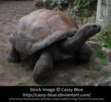 Giant Tortoise Stock 3 by Cassy-Blue