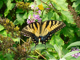 Tiger Swallowtail Butterfly stock by Rhabwar-Troll-stock