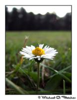 Daisy in a rugby field by mgfletcher