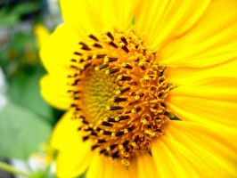 Provincetown Sunflower by Ryser915