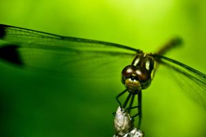 Dragonfly face by DomiN8