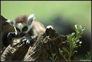 Ring-tailed Lemur by Uriba