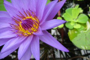water_lily.jpg by aimoto