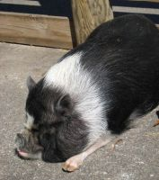 Pot-bellied pig by Reyphotos