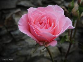 ROSE 14 by BELLESYMPHORINE