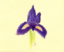 An Iris for Tammara by jdrainville