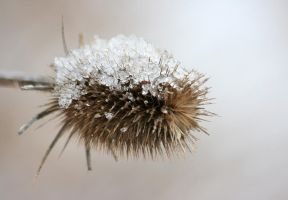 Thistle in Snow II by bluedrakon