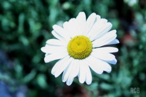 1 daisy in a field of grass by NOS2002