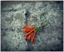 for a dying flower 1 by LuciaBlueFlower