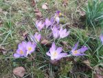 Crocus violet by cldg3d