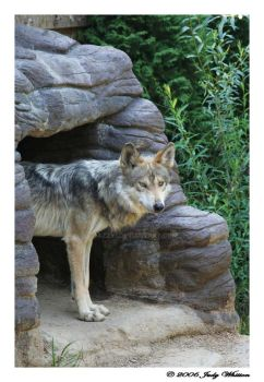 Mexican Wolf 2 by Tazzy-