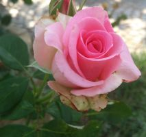 Pink Rose by Mik23