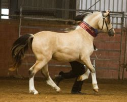 STOCK - 2014 Welsh QLD Show-40 by fillyrox