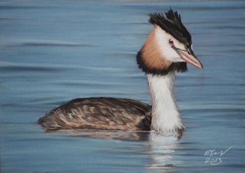 Great crested grebe(Podiceps cristatus) by riksons
