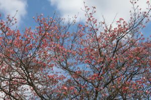Pink Dogwood and Cloudy Sky by Maeve09