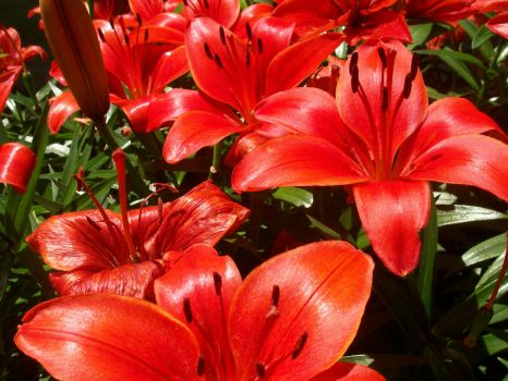 Lush Red Lilies by FrostyShale