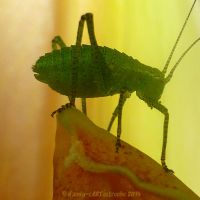 Lilly Cricket 03 by dandy-cARTastrophe