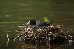 Nesting Coot by turlough