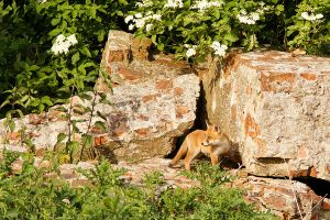 Fox on the Rocks by thrumyeye