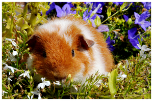 Guinea Pig Keiko by AshleyPhotographics