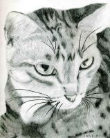 Tabby Cat Drawing by Jane-Rt