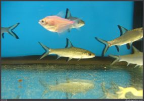 Fish Stock 0070 by phantompanther-stock