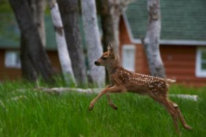 Bounding Fawn by Lanithion