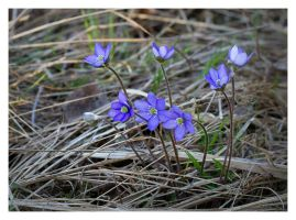 Common hepatica by Enalla