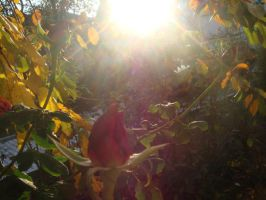 rose in the sunshine 3 by pimkie1