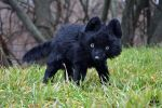 ETSY Commission black wolf.100 % handmade by MalinaToys