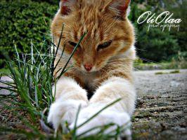 ginger cat by oleksis
