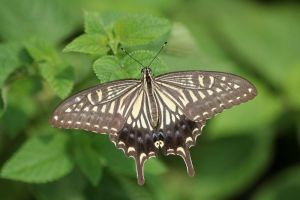 Papilio xuthus by fire