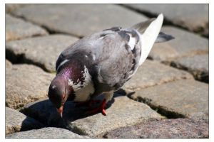 Pidgeon by Amnet