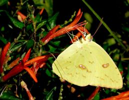 Cloudless Sulphur.... by duggiehoo