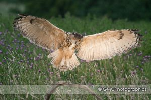 Eagle Owl Landing by GMCPhotographics