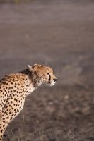 Cheetah - 4703 by eight-eight