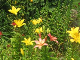 Lillies 01 by CotyStock