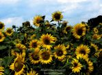 Another Sunflower Picture by AngelOfDarkness089