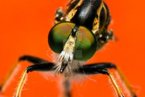 Robber Fly by ribbonworm