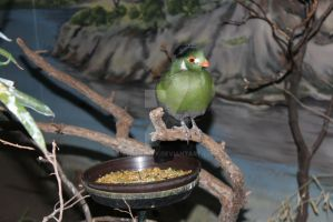 White-Cheeked Turaco by Centripity