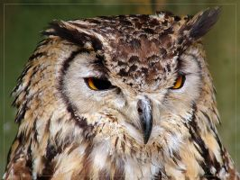 Bengal Eagle Owl by cycoze