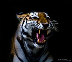 Tiger Face by PiTurianer