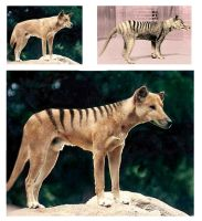 The making of a Thylacine by CyranoInk