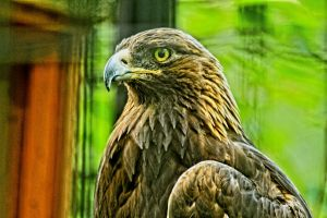 Golden Eagle by naturemaid
