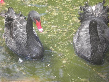 Black Swans by sugawinkle