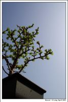 Bonsai tree by anotherview