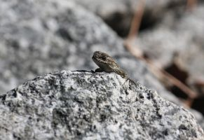 Lizard on the Lookout 3 by IlluminatedNewt