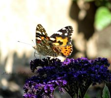Painted Lady Butterfly by Michies-Photographyy