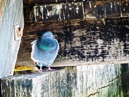 Pigeon Under the Boathouse by Peanutshellz