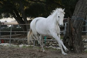 white horse stock 4 by Aestivall-Stock
